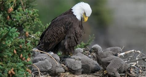 Bald Eagle Life History, All About Birds, Cornell Lab of