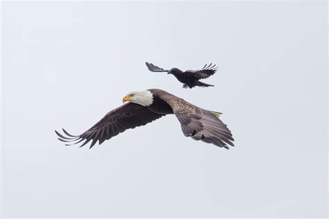 Crow Tries to Fight Eagle, Gets Free Ride Instead