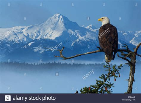 Bald Eagle perched on Spruce branch overlooking the